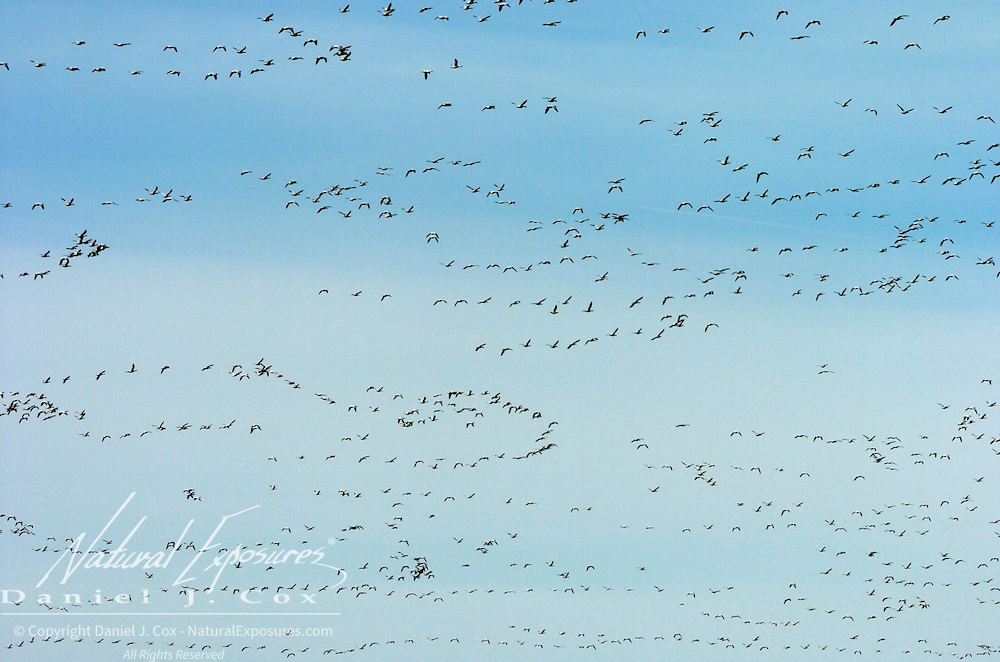 Snow Goose (Chen caerulescens) in flight near Freezeout Lake in northern Montana.