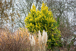 Pampas growing in front of Laurus nobilis 'Aurea' AGM - Yellow-leaved bay tree
