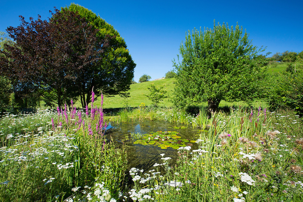 Wildlife pond, wildflowers, pond plants apple tree, maple, and hornbeam in country garden, The Cotswolds, Oxfordshire, UK