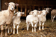 Lambs at Leaping Lamb Farm waiting to be let out into pasture.