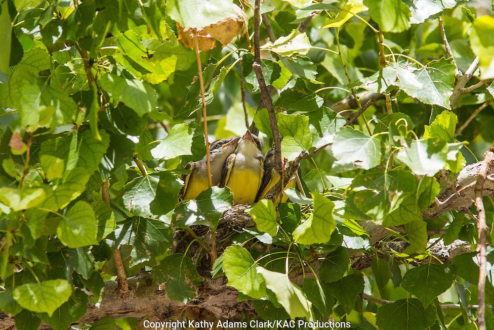 Western kingbird, Tyrannus verticalis, chicks, babies, nest, cottonwood, Marathon, Texas, west Texas