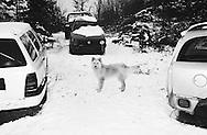 Wild dog, Sarajevo, Bosnia