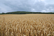 Ripe wheat field photographed in the black forest region, Germany in July