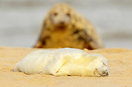 Grey Seal (Halichoerus grypus) whitecoat pup, resting on sandy beach with female (parent) in background, Norfolk, England.