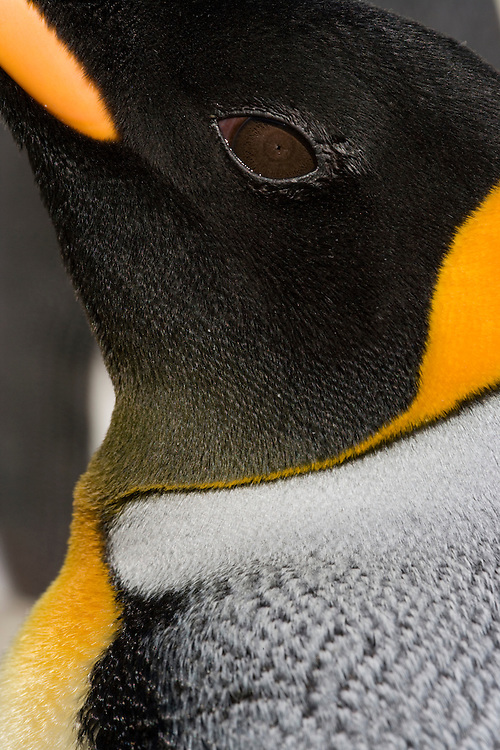 Antarctica, South Georgia Island (UK), Close-up detail of King Penguin (Aptenodytes patagonicus) in crowded rookery along Right Whale Bay
