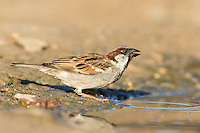 Male house sparrow drinking, De Hoop Nature Reserve, Western Cape, South Africa