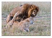 Lions mating in Maasai Mara, Kenya. Nikon D500, 200-400mm @ 200mm (300mm in DX-format), f4, 1/500sec, ISO800, Aperture priority
