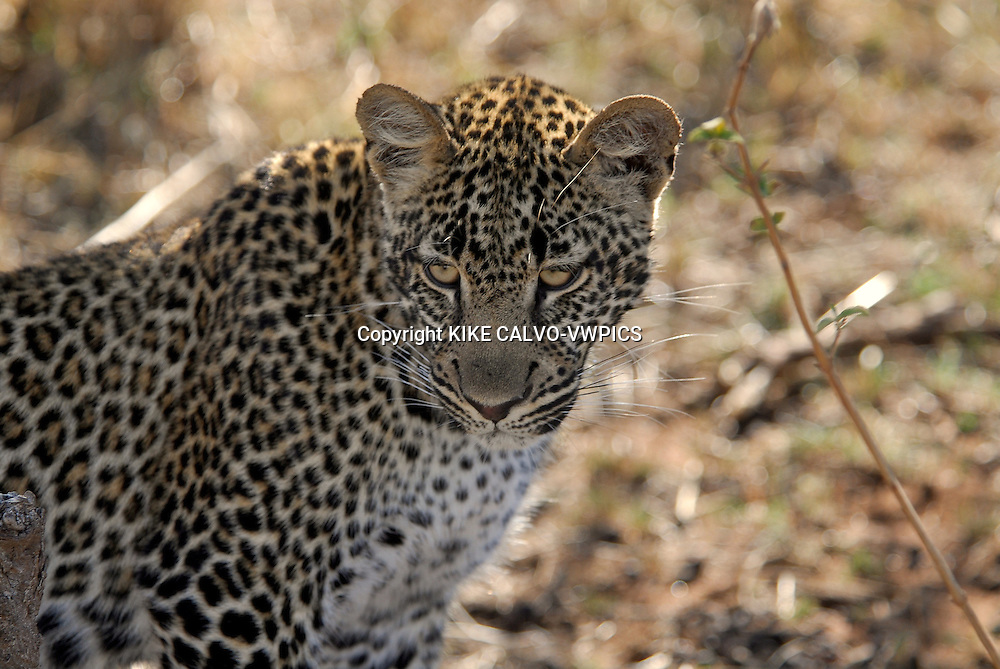 Leopard ( Panthera pardus ) Masai Mara National Park. Kenya. Africa