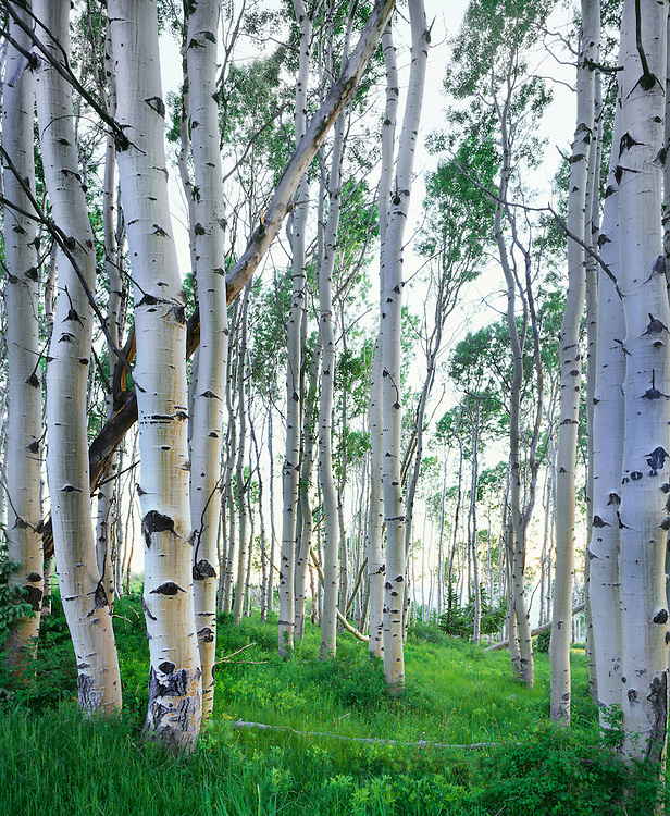 0340-1017 ~ Copyright:  George H. H. Huey ~ Aspens in the La Sal Mountains.  Summer.  Manti La Sal National Forest, Utah.