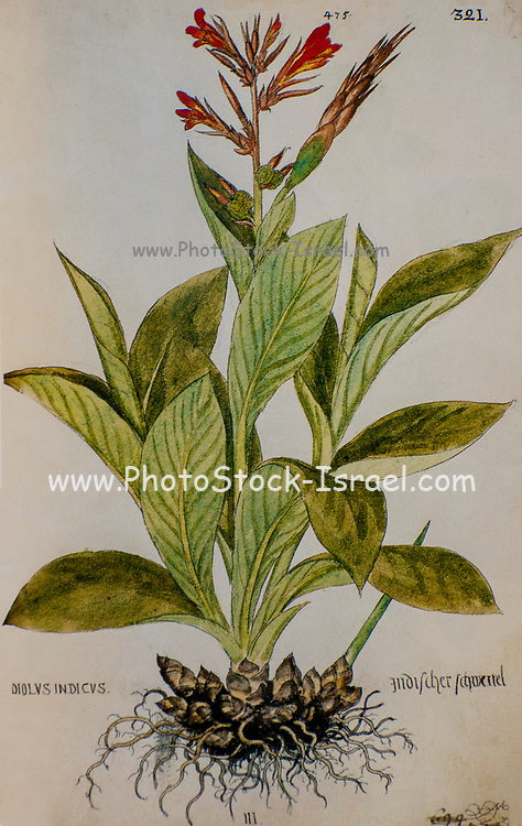 Hand drawn ancient Botanical illustration of a Canna indica (Indian shot), published c 1550