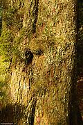 Big-leaf maple bark.
