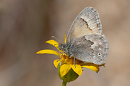 Coenonympha tullia california - Common Ringlet