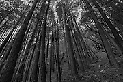 Black and White Photograph of Coastal Redwood Trees located in Muir Woods National Monument, Mill Valley, California (2008).