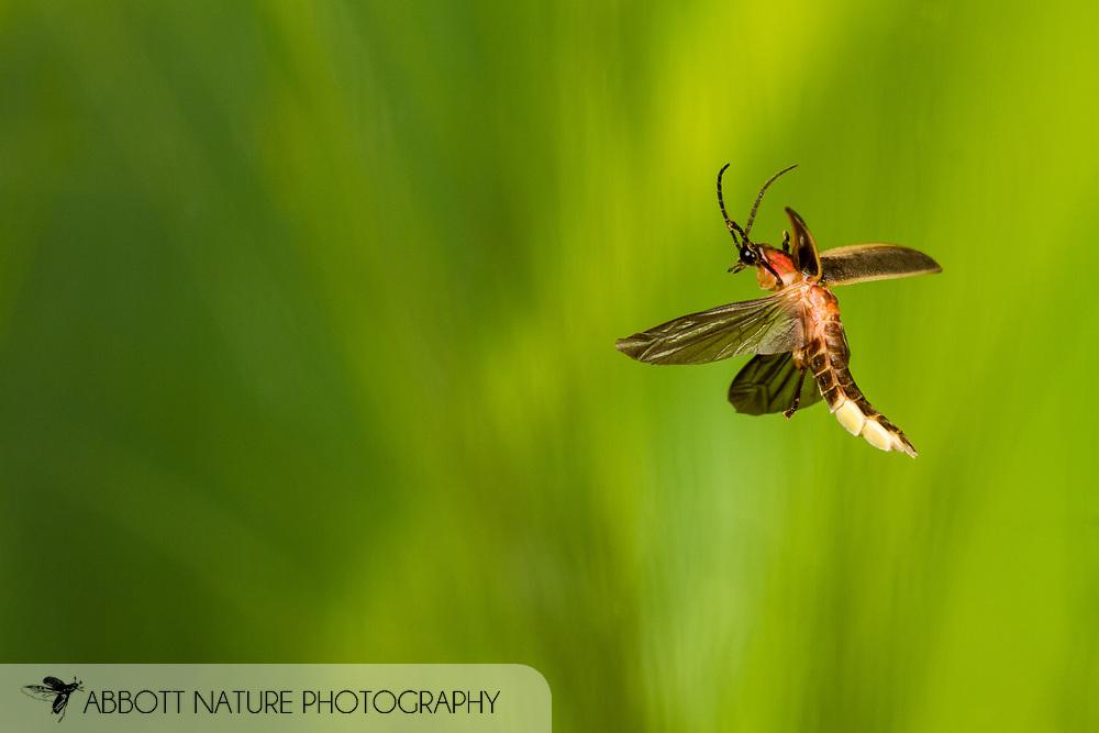 Pyralis Firefly, Eastern Firefly, Common Eastern Firefly, Big Dipper Firefly (Photinus pyralis) flying<br /> United States: Alabama: Tuscaloosa Co.<br /> Tulip Tree Springs off Echola Rd.; Elrod<br /> 28-Jun-2016<br /> J.C. Abbott #2840 &amp; K.K. Abbott