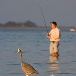 A great blue heron, Ardea herodias, joins a fisherman on the causeway in Dunedin, Florida.