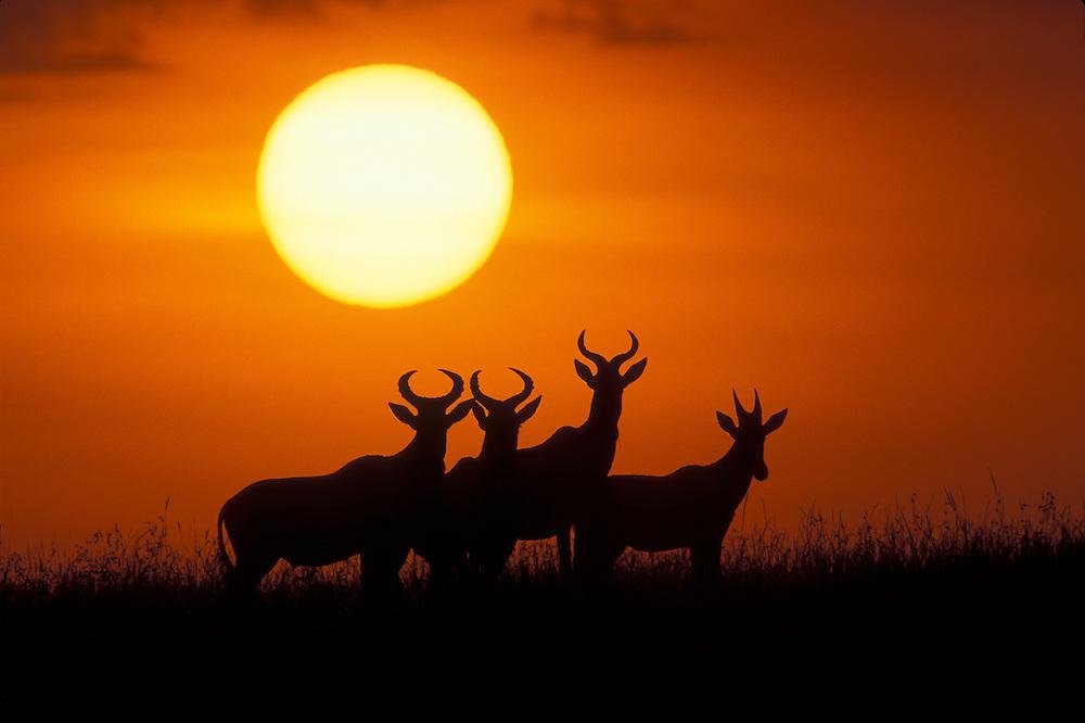 Africa, Kenya, Masai Mara Game Reserve, Topi antelope (Alcelaphus buselaphus) silhouetted at sunrise
