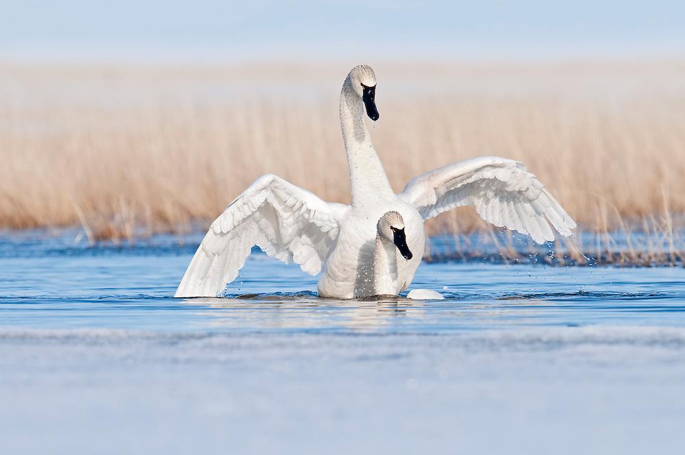 Tundra Swans; Cygnus columbianus, male and female mating, Yukon Delta NWR, Alaska