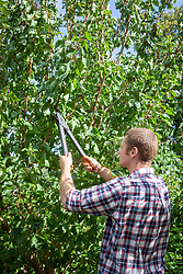Pruning a plum tree using long handled loppers.