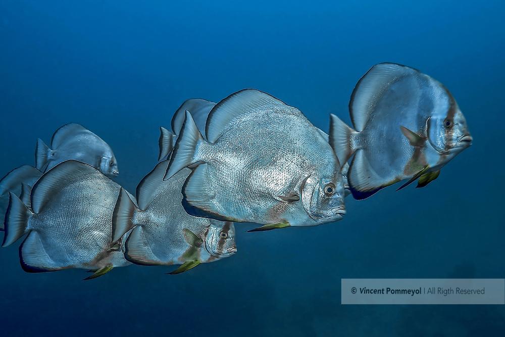 Orbicular batfish-Platax (Platax Orbicularis) of Res Sea, Egypt.
