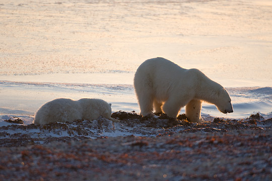 Polar Bear (Ursus maritimus) a mother and her cub waiting for the ice to freeze, feeding on kelp along the shores of Hudson Bay, Manitoba.