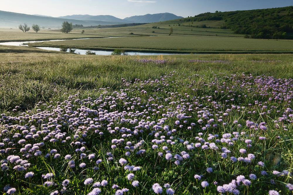 Flowering globe daisy (Globularia meridionalis). Sturba river. Southern part of the Livansko Polje basin -  karst plateau: arguably the largest karst field in the world. Ramsar site. Bastasi area. May 2009. Bosnia-Herzegovina.<br /> Elio della Ferrera / Wild Wonders of Europe
