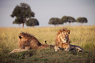 Lions in the Masai Mara National Reserve, Kenya, Africa