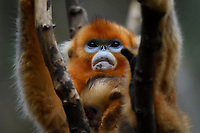 Portrait of a Sichuan Golden Snub-nosed Monkey, Rhinopithecus roxellana, a mother and her baby, at the Yangxian Nature Reserve, Shaanxi, China
