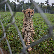 FRONT ROYAL, VA - JUL24: A young cheetah who was born at the Cheetah Science Facility at the Smithsonian Conservation Biology Institute in Front Royal, Virginia, July 24, 2014.  A high priority is maintaining and increasing genetic diversity in small populations to avoid inbreeding, which causes poor fertility and increased disease susceptibility. Scientists work closely with zoos worldwide to develop assisted reproduction techniques, including artificial insemination, in vitro fertilization, embryo transfer and cryopreservation (freezing) of sperm and embryos. (Photo by Evelyn Hockstein/For The Washington Post)