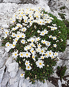 Dryas octopetala (white dryas, or eightpetal mountain avens) flowers prefer limestone formations. From the ski resort of Madonna di Campiglio in the Trentino-Alto Adige/Südtirol region of Italy, the Passo Groste lift takes you directly into the Brenta Dolomites to enjoy scenic mountain hiking trails. UNESCO honored the Dolomites as a natural World Heritage Site in 2009.