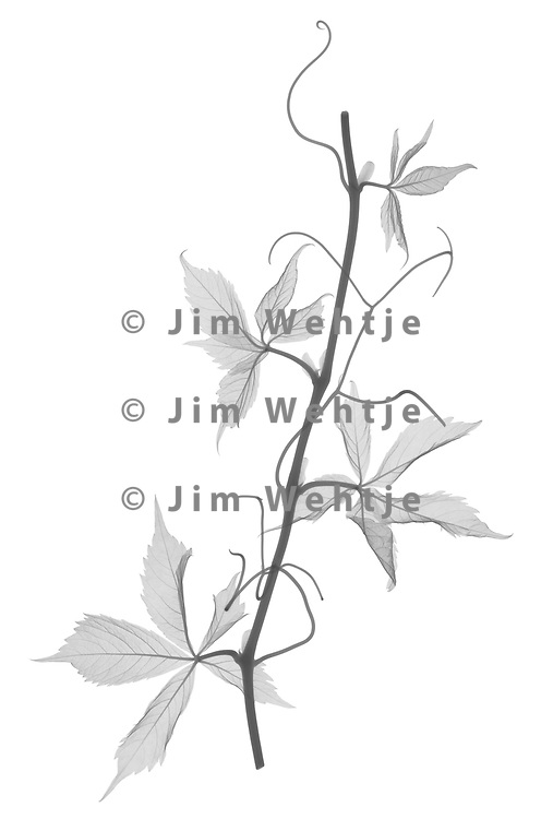 X-ray image of a Virginia creeper vine (Parthenocissus quinquefolia, black on white) by Jim Wehtje, specialist in x-ray art and design images.