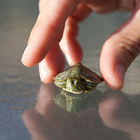 Woman hand with Red-eared Turtle, Florida, USA