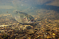 RAINBOW TROUT SWIMMING UNDERWATER IN THE MOUNTAIN FORK RIVER NEAR BROKEN BOW, OKLAHOMA