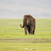 Grand old man, a Elephant bull at the end of life, lost Taskers and teeth wearing down making it hard to eat and finally starving to death from not being able to eat.