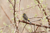 A female Yellow Rumped Warbler has a little more brown in its feathers and its yellow head patch is not as bright as the males.
