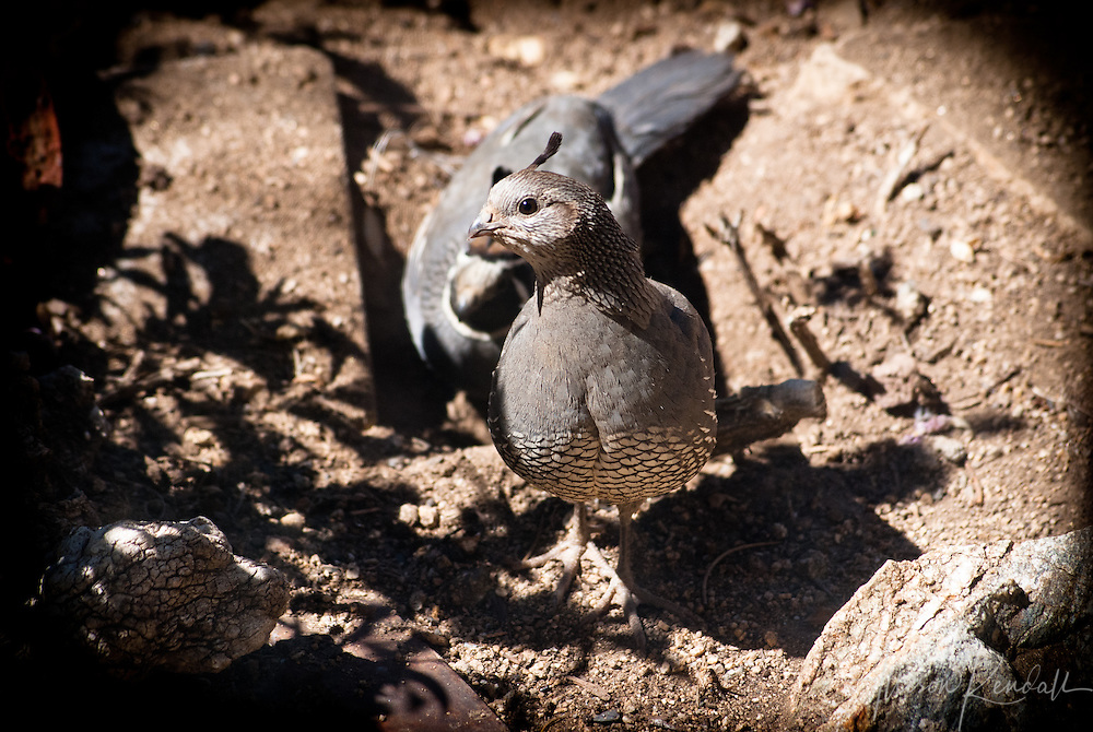A female California quail and her mate forage in the summer desert shade