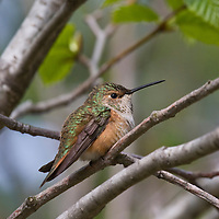 Female rufous Hummingbird near Revelstoke, British Columbia