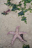 sea star and kelp on sandy beach during low tide at Railto Beach Washington