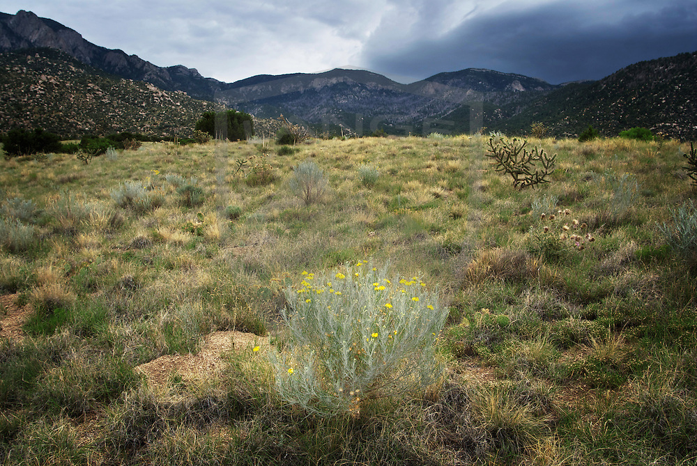 monsoon season in the sandia mountains of albuquerque, new mexico brings life to the meadows and foothills with the growth of wildflowers.