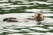 USA, Katmai National Park (AK)<br /> Sea otter (Enhydra lutris)