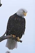 Bald Eagle, Haliaeetus leucocephalus, perched on stump, winter, Kenai Peninsula, Homer Spit, Homer, Alaska. Digital original, #2006_0364 ©Robin Brandt