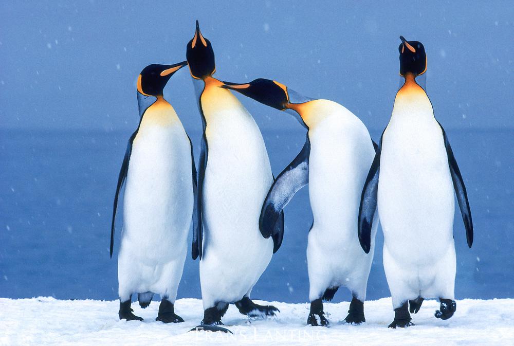 King penguins quarreling,  South Georgia Island