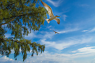 Greater Crested Tern-Sterne huppée (Thalasseus bergii), Birds of Polynesia.