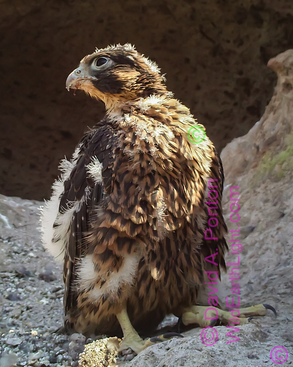 Nestling peregrine falcon, 31 days old, stands alertly on a ledge below the eyrie cave. © 2013 David A. Ponton, [photo by motion-activated camera, low-resolution limits repro. size]