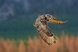 An Eurasian Eagle Owl is flying  in the Cairngorms National Park in Scotland