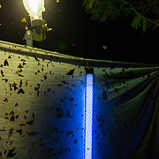 Insects are attracted a black light in the forest, one of the many techniques used by entomologists to attract and collect insects.