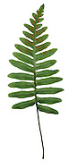Common Polypody - Polypodium vulgare