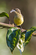 Female Variable Sunbird carrying nesting material in her bill, Seldomseen, Bvumba, Manucaland Province, Zimbabwe