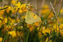 Vlinder, Oranje Luzernevlinder, Butterfly, Colias crocea