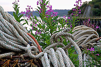 Fireweed plants grow among commercial fishing line and crab pots