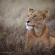 Pensive, tired lioness, Ngorogoro Crater